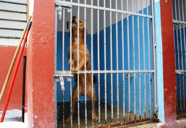 Los perros son atendidos en el Cebiam en espera de que algún ciudadano acuda al lugar a adoptar un can. (Octavio Martínez/SIPSE)
