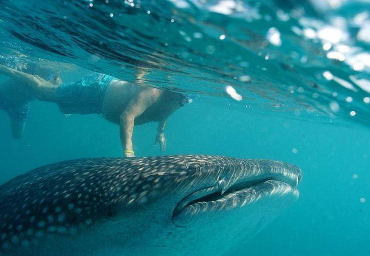 Las autoridades preservan la Reserva de la Biosfera Tiburón Ballena localizada entre isla de Contoy e Isla Mujeres.