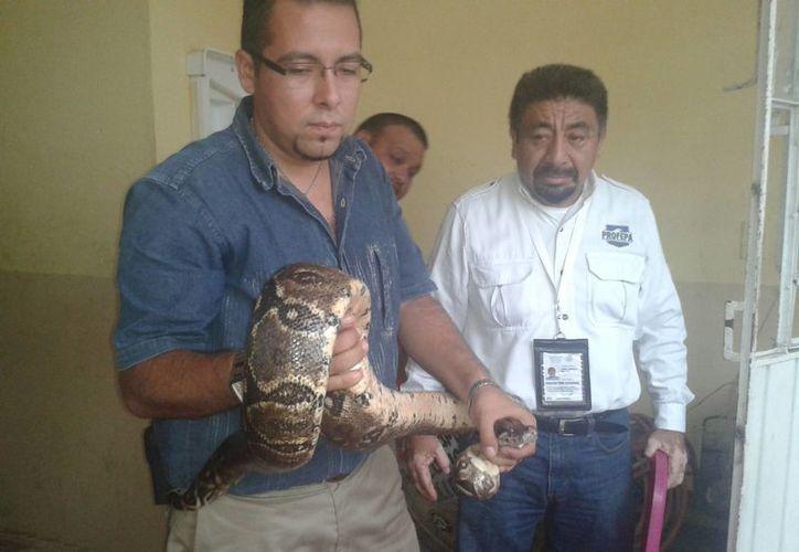 Uno de los ejemplares de boa constrictor capturados en Valladolid. (SIPSE)