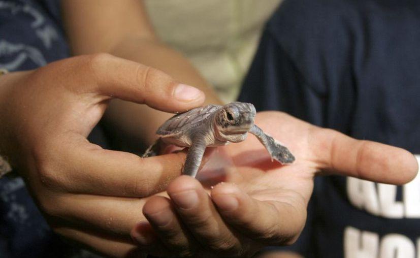 El Comité Estatal de Manejo y Conservación de Tortugas Marinas reportó que este año se tuvo la llegada de cuatro tipos de tortuga. (Tomás Álvarez/SIPSE)