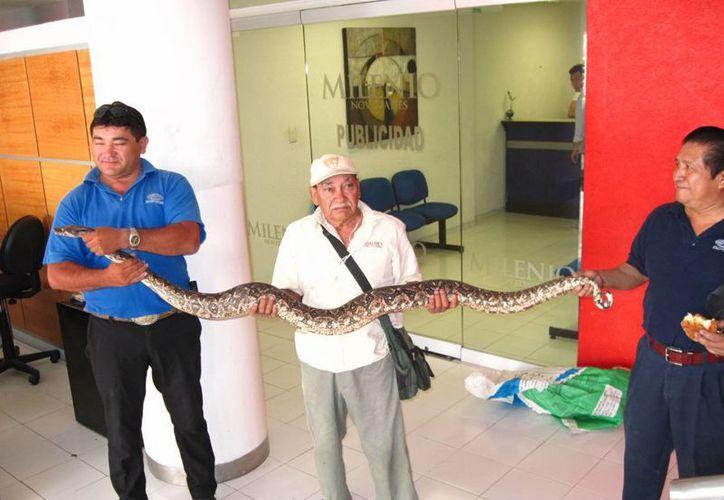El señor Grajales llegó con la serpiente a informar que será liberada en  la reserva ecológica de El Palmar. (Francisco Puerto/SIPSE)