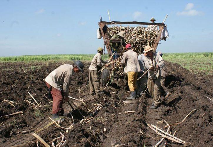 La caña de azúcar fue el producto que más sobresalió entre el sector agrícola durante agosto.  (Carlos Castillo/SIPSE)