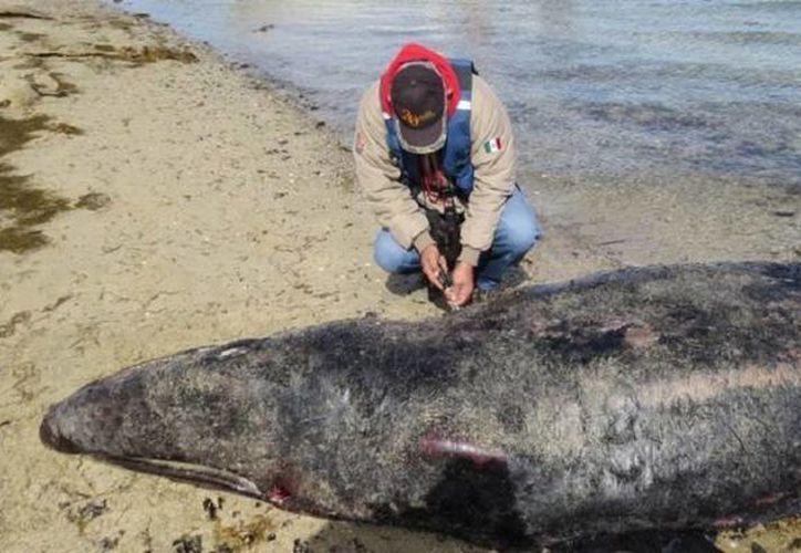 Las autoridades de la Profepa dejaron los cadáveres de las siete ballenas en el mismo lugar donde fueron encontradas, ya que no representan peligro. (Profepa)