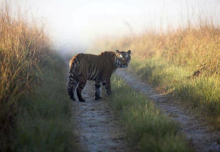 La tigresa que escapó del Parque Nacional Jim Corbett ha cobrado la vida de al menos 10 personas, y tiene de cabeza a las autoridades indias. Imagen de contexto de un animal similar al que ha atacado a seres humanos al norte de India. (Agencias)