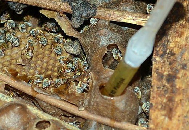 El convenio no se basa nada más en lograr promocionar la miel yucateca, sino saber qué necesita el mercado europeo.  (SIPSE)