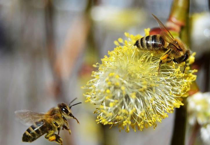 En Tututepec, Oaxaca las abejas son protegidas por la ley. (PiIxabay)