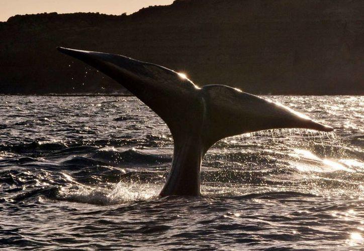 Una ballena franca austral muestra su cola al regresar, como cada año, a la costa de Chubut, al sureste de Argentina. (EFE)
