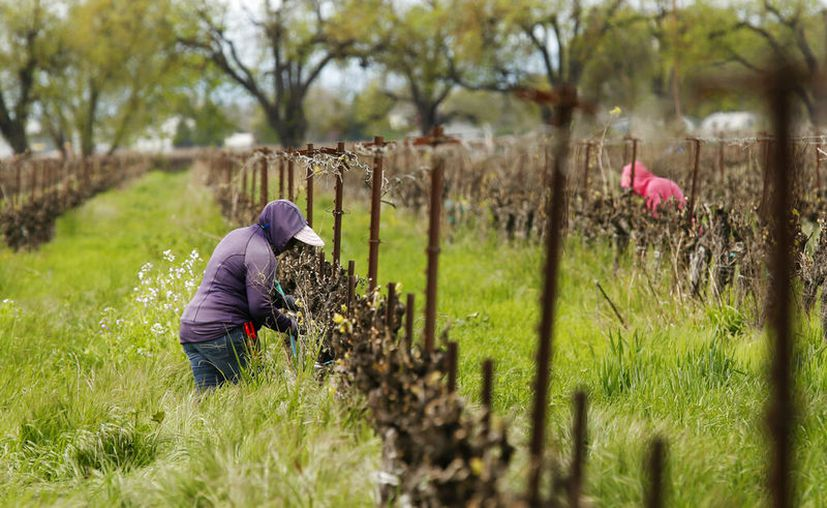 Trabajadores agrícolas manteniendo una distancia entre ellos mientras trabajan en el Heringer Estates Family Vineyards and Winery en Clarksburg, California. (AP Foto/Rich Pedroncelli)