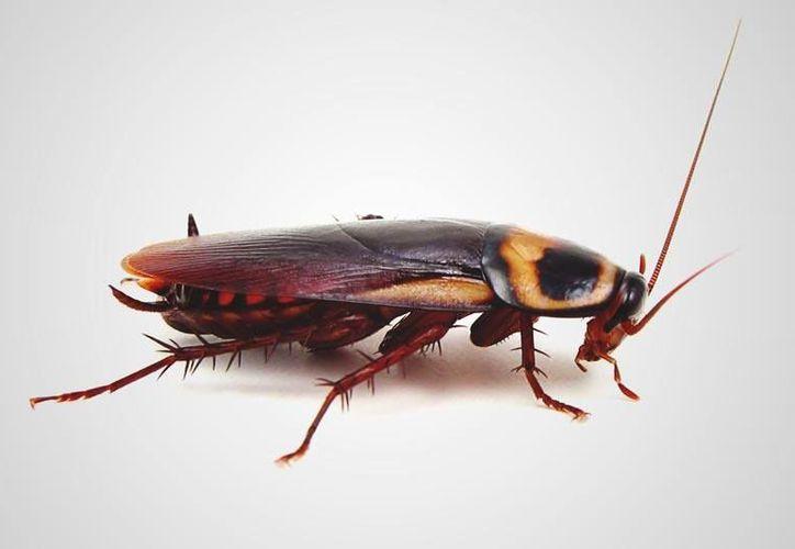 """""""Pude escuchar sus patas dentro de mí"""", dijo Blake Collins, quien fue hospitalizado por que una cucaracha se le metió al oído. (GizModo)"""