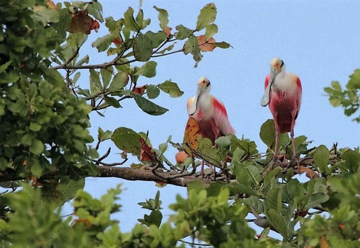 """Algunas de estas especies de aves son emblemáticas de Bacalar como el halcón caracolero, espátula rosada, cigüeñas, entre otras, que son observadas en la """"Isla de los Pájaros"""" a través de binoculares.  (Foto: Javier Ortiz / SIPSE)"""
