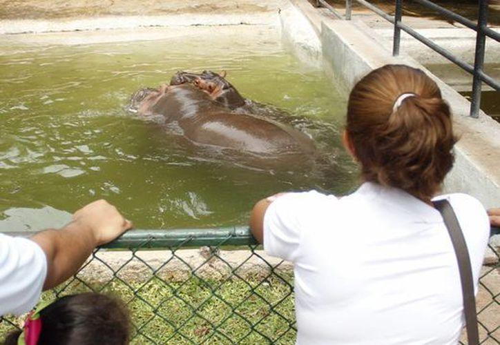 Visitantes al Centenario observan a los hipopótamos. (Milenio Novedades)