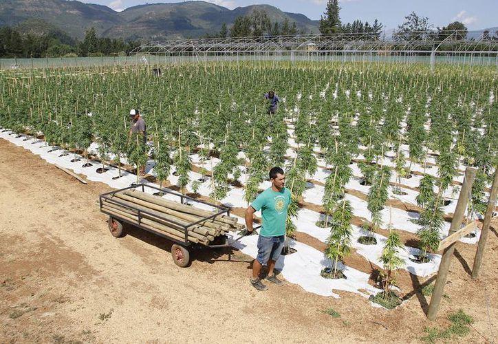 La mayor plantación legal de cannabis (marihuana) de toda América Latina se ubica en la zona rural chilena de Colbun, 270 kilómetros al sur de Santiago, cercana a la cordillera de Los Andes. (EFE)