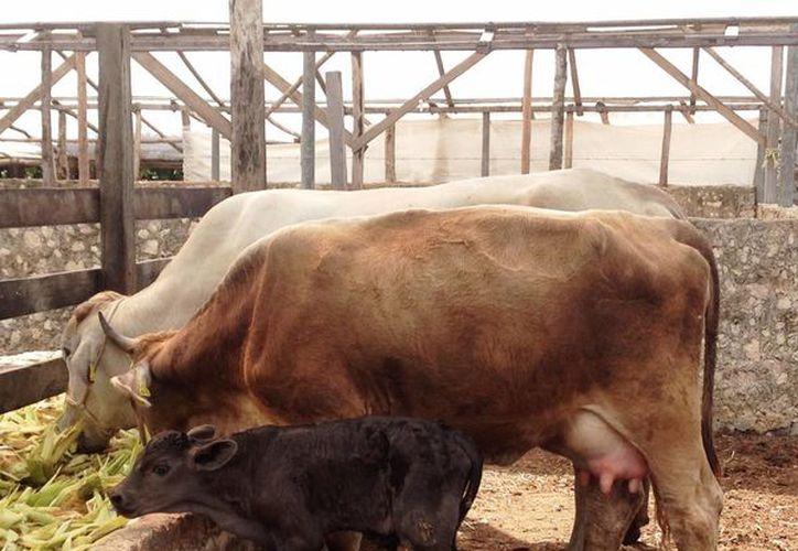 La asociación buscará reforzar el ganado para que afronte las adversidades como las enfermedades con cruzas con nuevas razas. (Octavio Martínez/SIPSE)