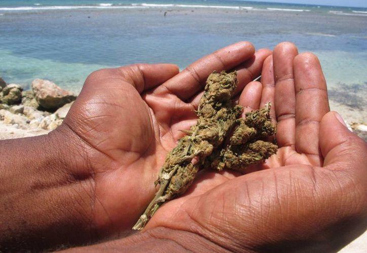 Imagen de un vendedor jamaicano mostrando la marihuana que él mismo cultiva escondida tras su tienda de artesanías en Ocho Ríos, Jamaica. (Archivo/EFE)