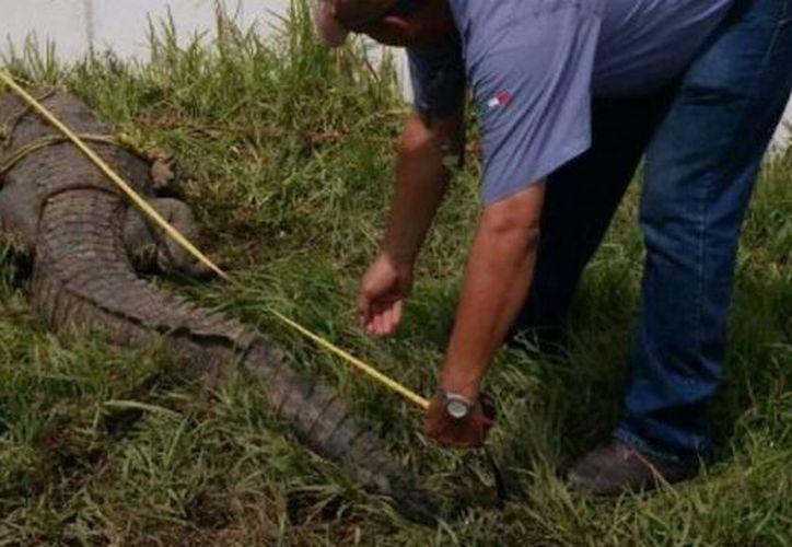 Alumnos de la escuela Andrés Quintana Roo, en Progreso, denunciaron haber visto a un cocodrilo de unos 2 metros de largo cerca de su colegio. (Foto de contexto de Notimex)