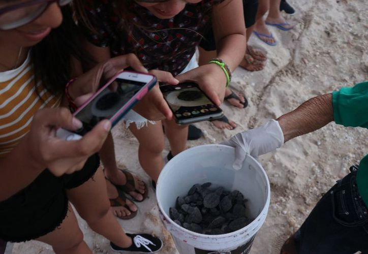 Este mes se espera el arribo de tortuga Verde, cuya población es la más grande de la temporada. (Daniel Sandoval/Milenio Novedades)