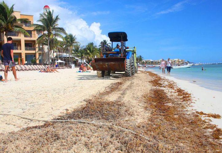 El recale de sargazo a la costa de Playa del Carmen causa alerta en los turisteros. (Adrián Barreto/SIPSE)