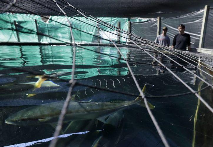 Para poder abrir una granja acuícola en Estados Unidos, es necesario atravesar una serie de largos y costosos trámites federales. (AP)