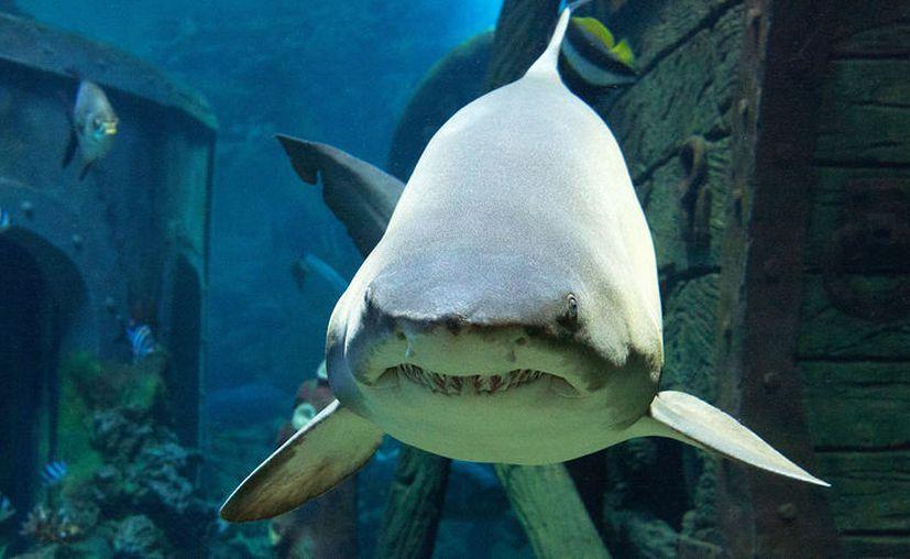 La  Asociación Civil Saving Our Sharks marca a los tiburones para estudiar su comportamiento. (Foto: SIPSE)