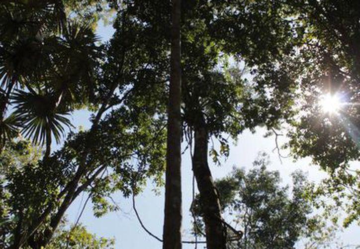 La Conafor dispone de 30 millones de pesos para aprovechamiento forestal en diversos ejidos. (Harold Alcocer/SIPSE)