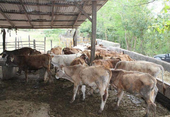 Se mantendrá una vigilancia en el ganado que entra y sale del estado de Quintana Roo. (Edgardo Rodríguez/SIPSE)