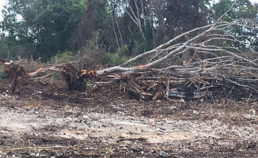 Habitantes de Xul-Há denunciaron la tala de árboles de gran tamaño en un lote abandonado. (Javier Ortiz/SIPSE)