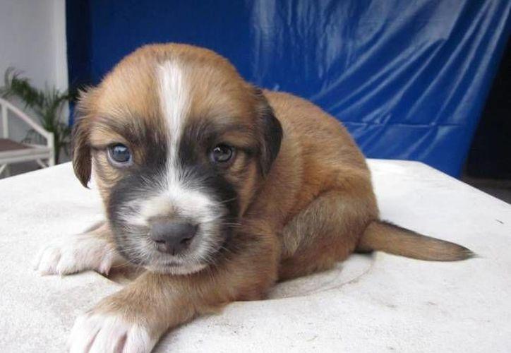 Las mascotas que se encontrarán en busca de un dueño responsable serán 40. (Archivo/SIPSE)