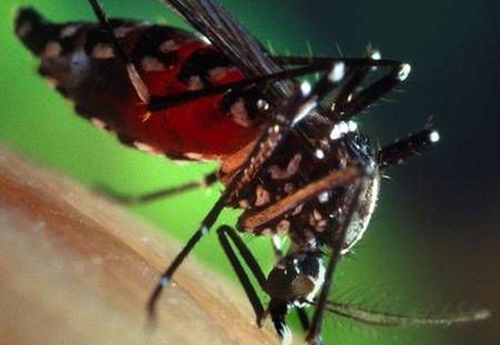 Tiene un tipo de transmisión del dengue transovárica o venérea, lo que significa que no es necesario que pique a una persona enferma. (Redacción/SIPSE)
