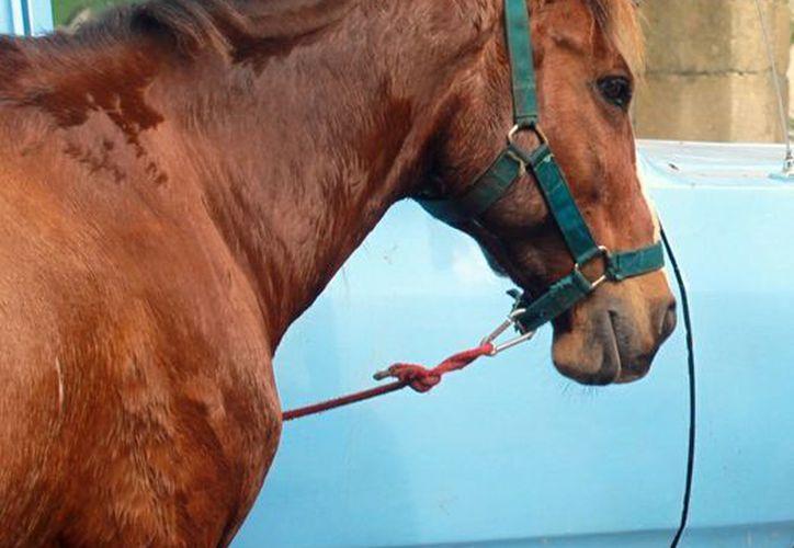 Para el proyecto turístico planean adquirir 20 caballos. (Luis Soto/SIPSE)