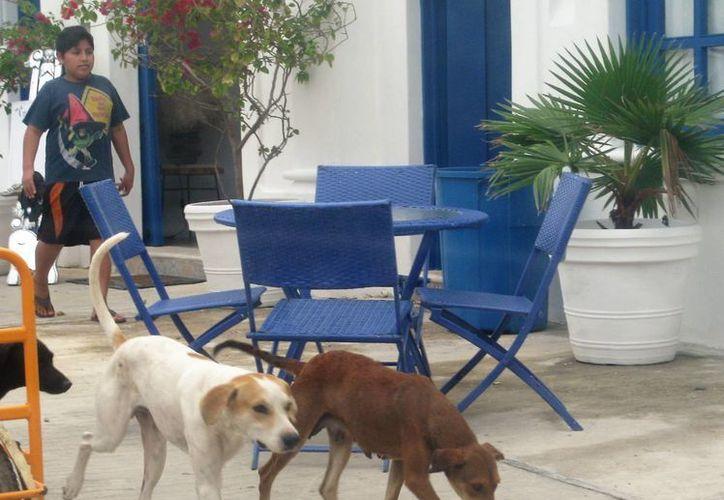 En las colonias y centro de la ciudad es común ver a perros deambulando, ya sea solos, en pareja o grupos de hasta 15. (Javier Ortiz/SIPSE)