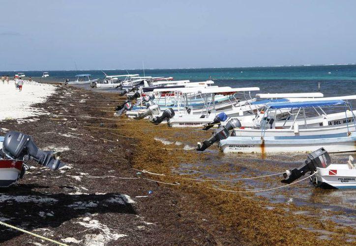 Gran cantidad de sargazo recala en las costas del Estado. (Israel Leal/SIPSE)