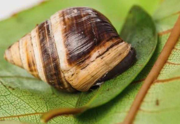 El caracol 'George', era el último de la especie Achatinella apexfulva. (Hipertextual)