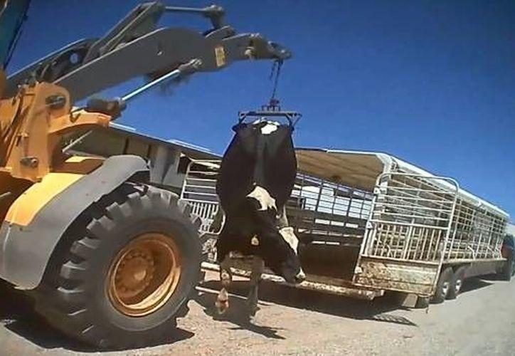 En el video se puede observar cómo algunas vacas son suspendidas en el aire con un armazón metálico. (YouTube)