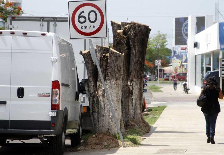 Hace unos días se denunció que se cortaron sin permiso dos árboles que se encontraban frente a una agencia automotriz, los cuales tenían entre  20 y 25 años de edad, por lo que se analiza la multa que se le pondrá a los responsables. (César González/SIPSE)