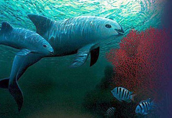 Dos ejemplares de vaquita marina (Phocoena Sinus) nadan en aguas del Mar de Cortez, en Baja California Sur, México. (EFE/Archivo)