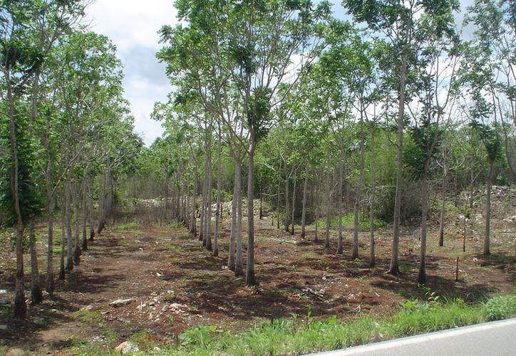 El proyecto tiene dos propósitos: reforestar árboles y a la vez utilizar los espacios disponibles para la siembra de hortalizas. (Carlos Yabur/SIPSE)