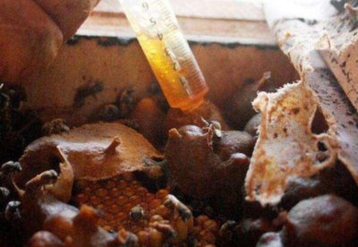 La miel de abeja melipona será usada en cosméticos franceses. (Octavio Martínez/SIPSE)