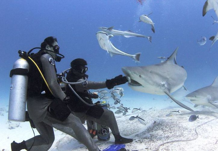La organización SOS atribuye al ruido y a los buzos que los tiburones toro no hayan aparecido aún en Playa del Carmen. (Daniel Pacheco/SIPSE)