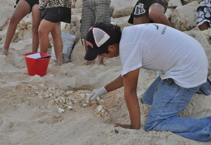 El año pasado se registraron más de mil voluntarios para cuidar la anidación de tortugas en Cozumel. (Gustavo Villegas/SIPSE)
