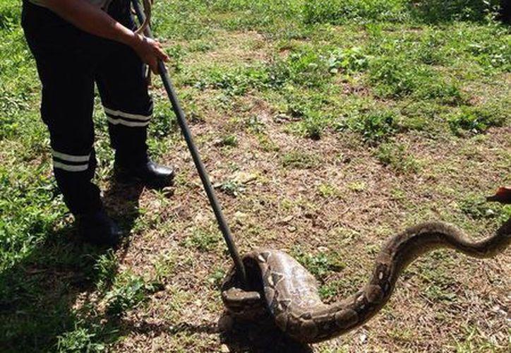 El reptil fue capturado por bomberos y policías municipales. (Redacción/SIPSE)