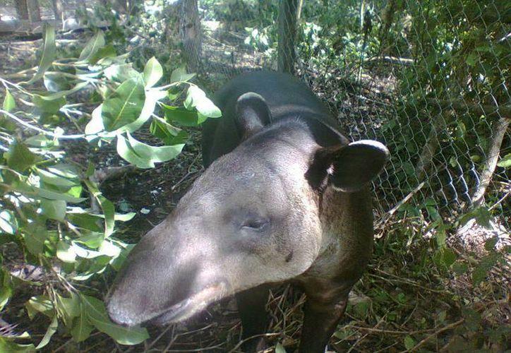 Liberan a Tapir tras dos años de recuperación por sus heridas. (Carlos Yabur/SIPSE)