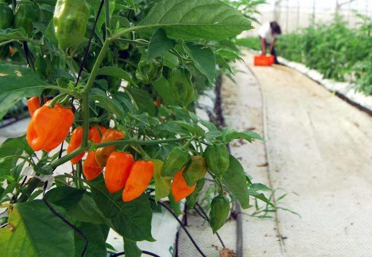 Los canales o camas donde están las plantas de chile se encuentran cubiertas de plástico. (Notimex)