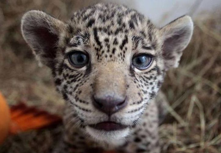 'La aportación de la Red de Reservas Privadas y Sociales de la Península será importante para lograr hacer un censo del jaguar a nivel peninsular. (eltiempo.com)