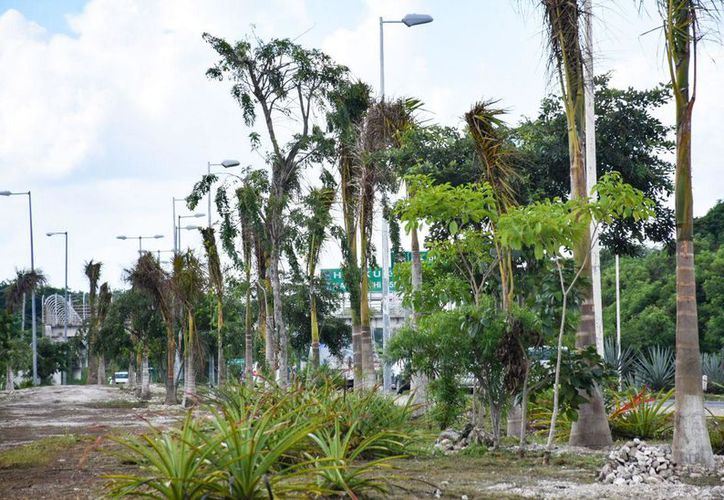 Hasta el momento se han plantado 250 de 500 palmas reales. (Cortesía)