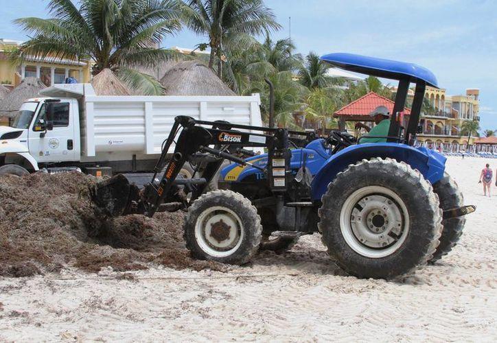 Ayer se comenzó a trasladar el sargazo de las playas del centro de la ciudad, hacia Punta Esmeralda.  (Rafael Acevedo/SIPSE)