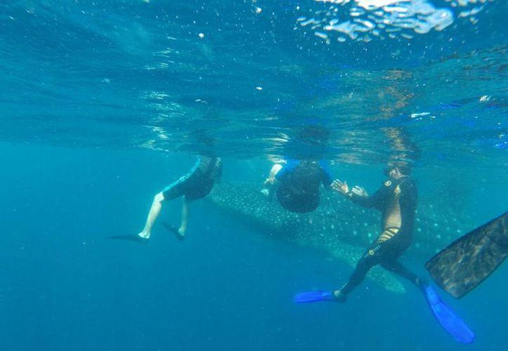 El nado con el tiburón ballena es un atractivo turístico. (Israel Leal/SIPSE)