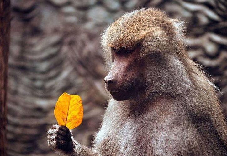 Los babuinos son parte de los animales usados para los experimentos en Australia. Imagen de contexto. (quo.es)
