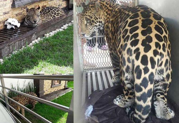La Procuraduría Federal de Protección al Ambiente (Profepa) aseguró un jaguar que habitaba como mascota en un domicilio de San Luis Potosí. (Profepa).