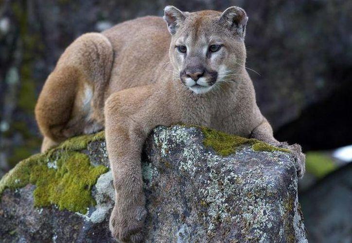 Desde 1991 se han producido tres ataques mortales de puma en Colorado. (nationalgeographic.com)