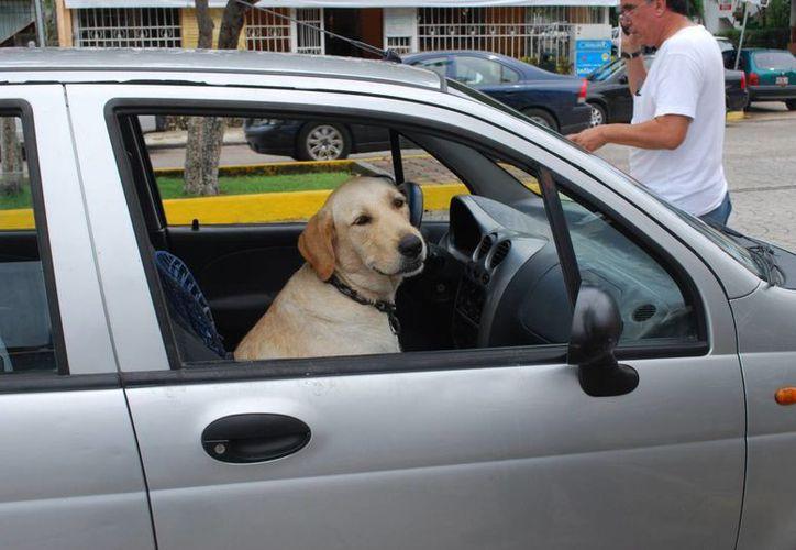Aunque se han hecho reportes de mascotas encerradas en automóviles; hasta el momento no se ha aplicado está sanción. (Tomás Álvarez/SIPSE)